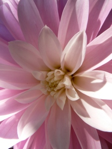 A Dahlia at boZannical Gardens in 2009