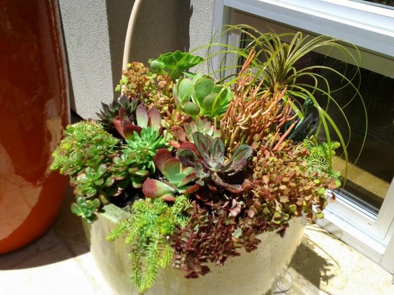 A succulent composition