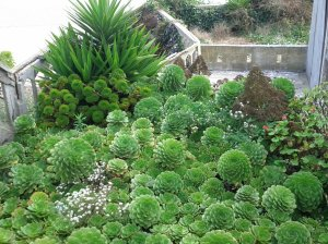 Aeonium patch