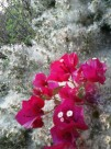 Bougainvillea amid the seeding flowers of coyote bush.