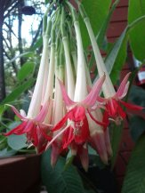 Our ever-reliable Fuchsia boliviana. Can't wait to eat the fruit these will become. :)