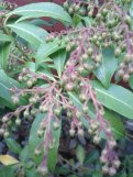 Our Pieris japonica 'Mountain Fire' slowly readying to pop some blooms.