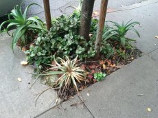 Dyckia does not hold up well to dog pee. :( The aloes seem to handle it well enough.