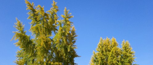 Huge Gingko trees! Nice color against the sky.