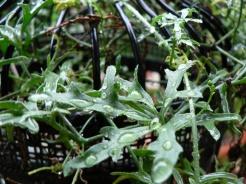 Deeply lobed leaves of vining Kedrostis africana.