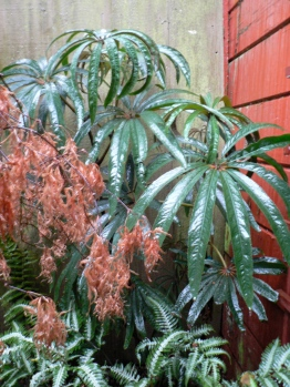 The persistant (needing to be hand-stripped) leaves of my Japanese maple look stunning against the umbrella foliage of Begonia luxurians.