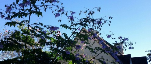 Gorgeous lavender tree dahlia peeking above a fence on Belgrave.