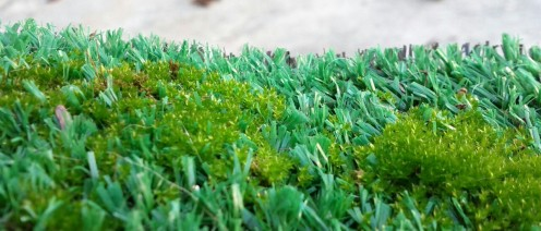 Macro shot of moss growing in the Astroturf of our entryway at home. :)