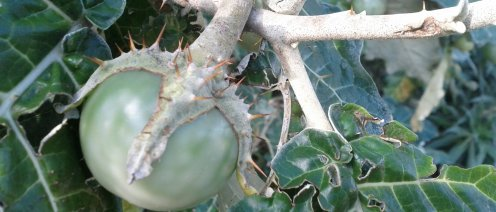 Even the calyx on the fruit of the Solanum marginatum is thorny!