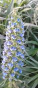 Detail of a huge echium bush at the summit.