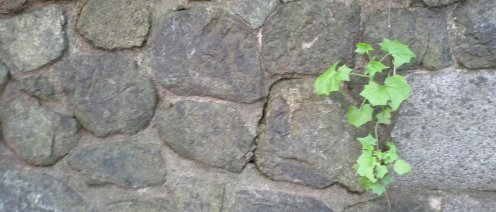 A little bit of German ivy on the stone walls.