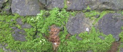 Moss on the stone walls in the redwoods. Must be on the north side!