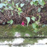 Cute little fuchsia bloom atop a high wall on the Main Road.