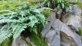 Gorgeous ferns and moss on the rock wall of the Rose Garden.