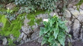 Calla Lily in bloom in the Rose Garden.