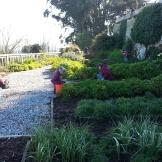 Volunteers weeding away in the Rose Garden.