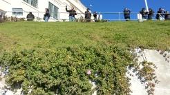 A tiny bloom of Drosanthemum floribundum, with a row of tourists above enjoying the views.