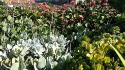 West Lawn succulent border.