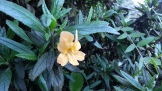 Sticky Monkey Flower growing along the path. A California native (because this is where sticky monkeys come from.)