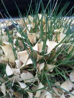 Ginkgo leaves fallen in a Bulbine caulescens.