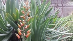 Aloe plicatilis in bloom on the steps of 20th St, at Sanchez.