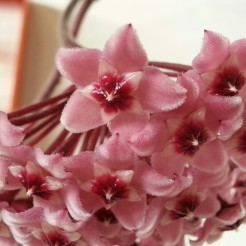Gorgeous chocolate-scented Hoya flowers.