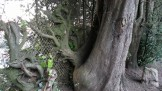 Awesome old Monterey cypress grown into the fencing at Upper Douglass Dog Park.
