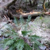 A HUGE fern, so happy to be in the trickle of the stream.
