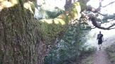 Seriously massive oak!