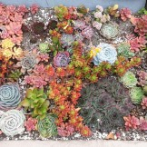 Succulent mosaic in the beds lining my neighbor's steps