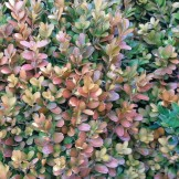 Winter color on Japanese boxwood