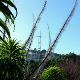 Sutro Tower through the echium spikes at Kite Hill