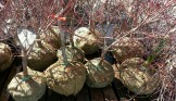 Balled-and-burlapped Japanese maples at Flora Grubb Gardens.