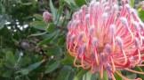 Leucospermum flowers.
