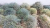 Tribble garden of blue fescues.