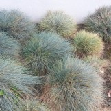 Tribble garden of blue fescues.