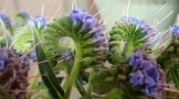 The unfurling flowers of echium.