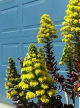 Aeonium flowers against a blue background. Mmm!