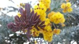 My neighbor's Acacia baileyana atropurpurea.