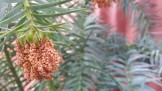Cunninghamia lanceolata glauca at Flora Grubb Gardens.
