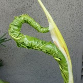 Fascinating how the new leaves unfurl, fully formed, on a Philodendron selloum.