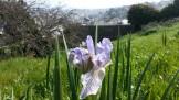 Irises at Kite Hill