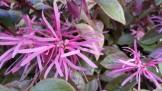 Fringe flowers of Loropetalum.