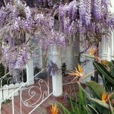 I love the color combo of the wisteria and the birds-of-paradise.