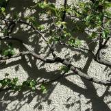 Branches and shadows on Belgrave.