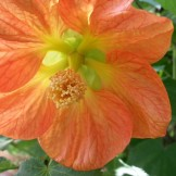 Beautiful peachy-orange abutilon flowers.