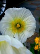 Crisp white poppies...