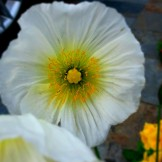 Crisp white poppies...