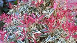 Pieris japonica Haviland in our garden.