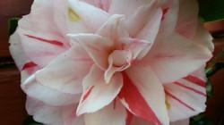 Camellia (cultivar name forgotten) in our garden.